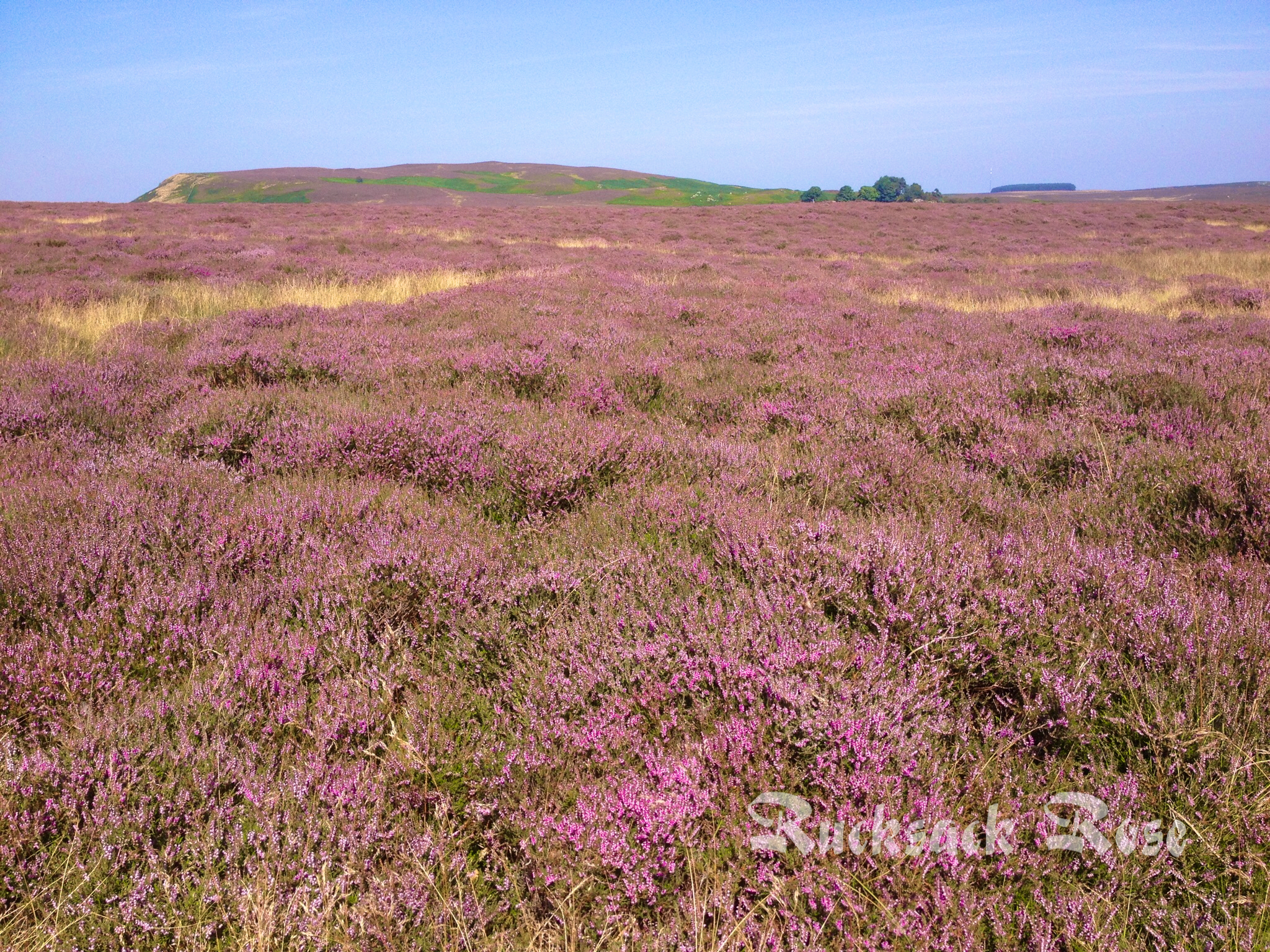 Purple heather and blue skies